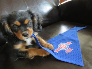 Oskar puppy Cubs fan
